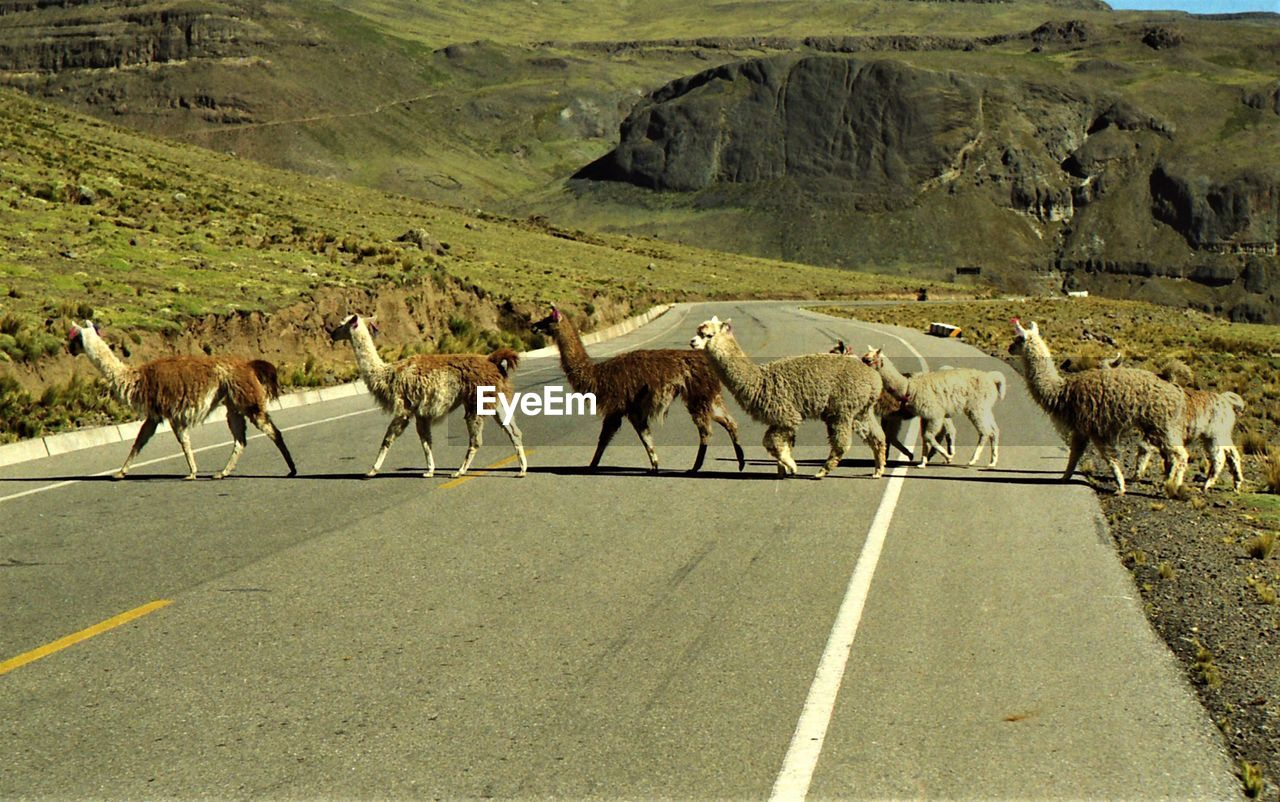road, animal themes, mammal, animal, domestic animals, transportation, group of animals, livestock, large group of animals, vertebrate, road marking, marking, nature, pets, domestic, day, animal wildlife, environment, animals in the wild, sign, no people, outdoors, herbivorous, herd