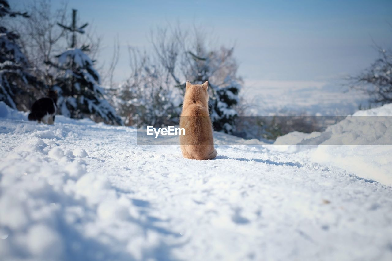 snow, cold temperature, winter, animal themes, animal, mammal, day, nature, no people, one animal, vertebrate, selective focus, animals in the wild, animal wildlife, field, white color, frozen, covering, land, surface level