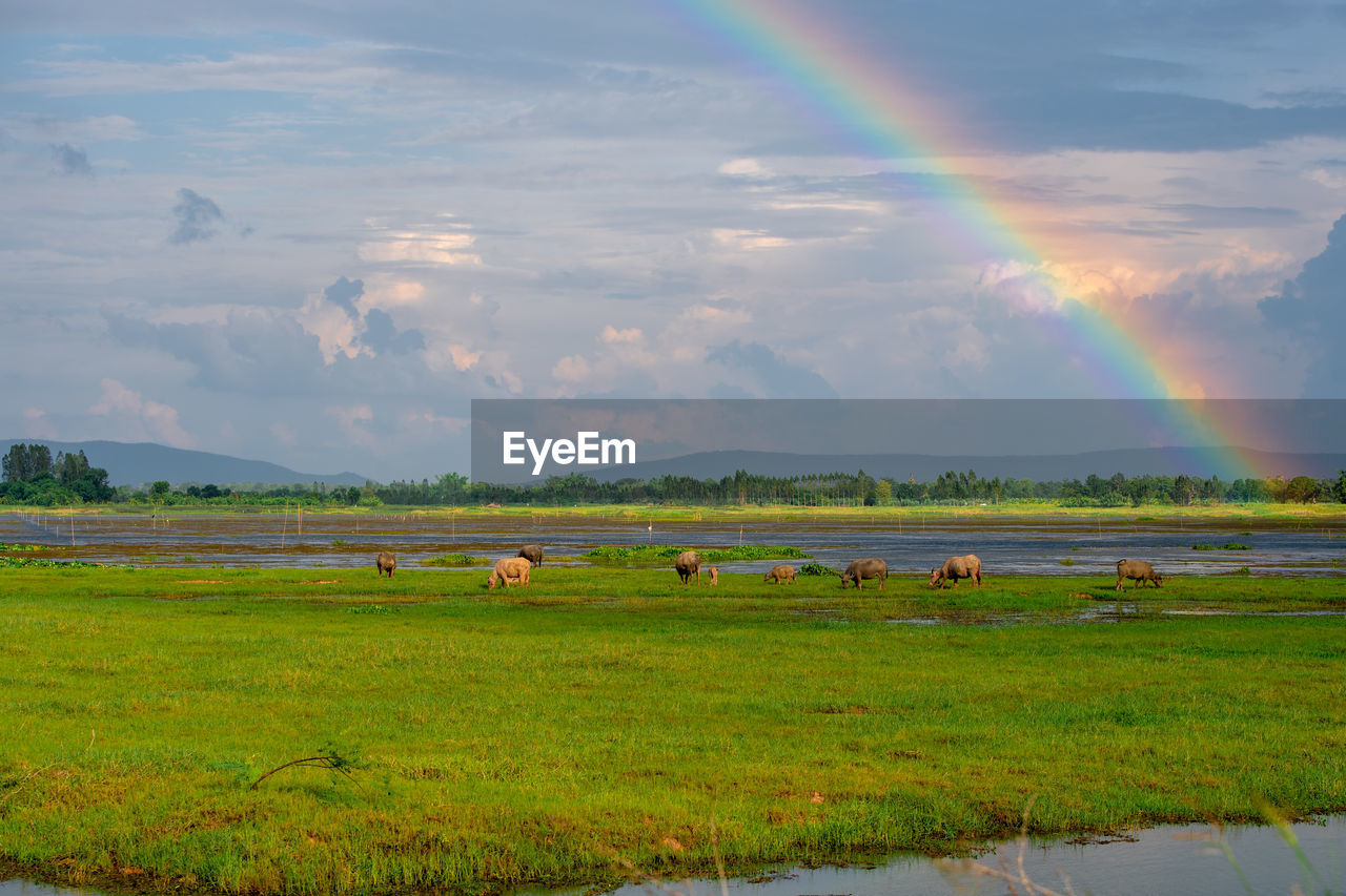 cloud - sky, landscape, field, beauty in nature, environment, sky, land, plant, tranquil scene, scenics - nature, grass, tranquility, green color, animal, animal themes, mammal, no people, nature, agriculture, rainbow, outdoors