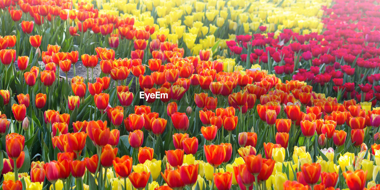 Full Frame Shot Of Red Tulips Blooming On Field