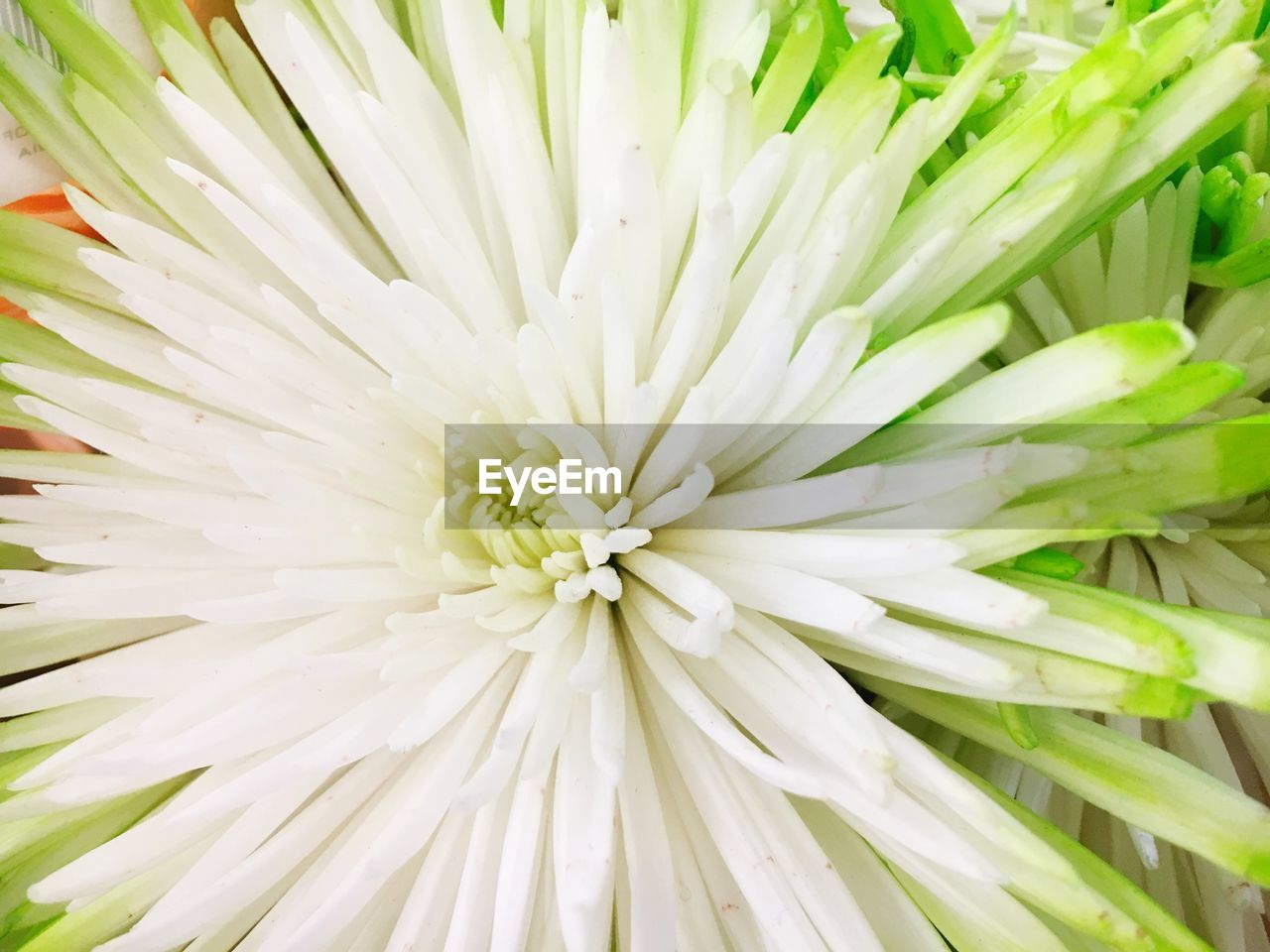flower, freshness, fragility, nature, beauty in nature, petal, white color, flower head, close-up, no people, plant, growth, full frame, outdoors, backgrounds, day