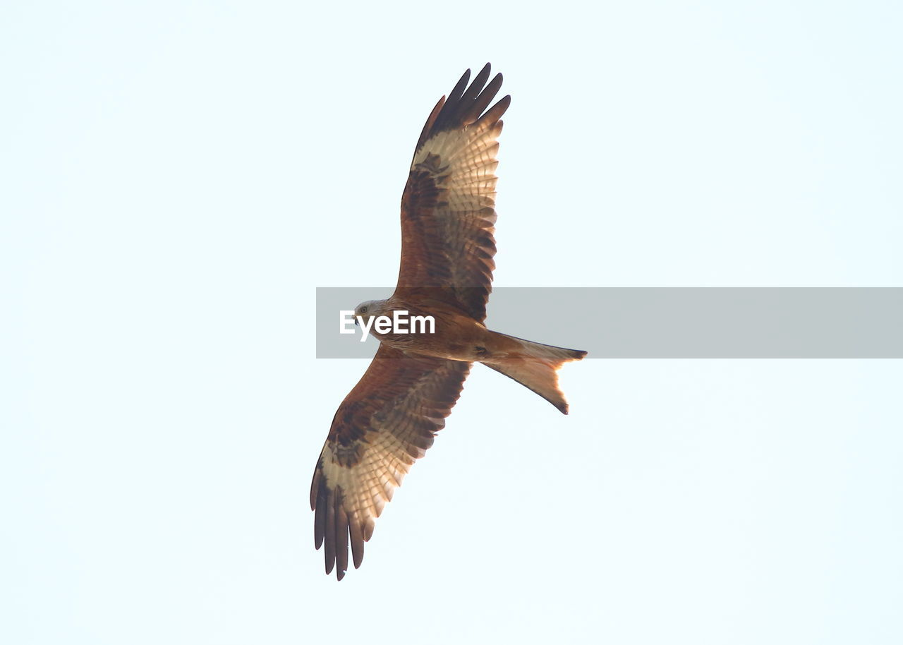 animals in the wild, animal wildlife, flying, animal themes, animal, spread wings, vertebrate, bird, clear sky, one animal, low angle view, no people, sky, mid-air, nature, copy space, bird of prey, motion, outdoors, day, eagle