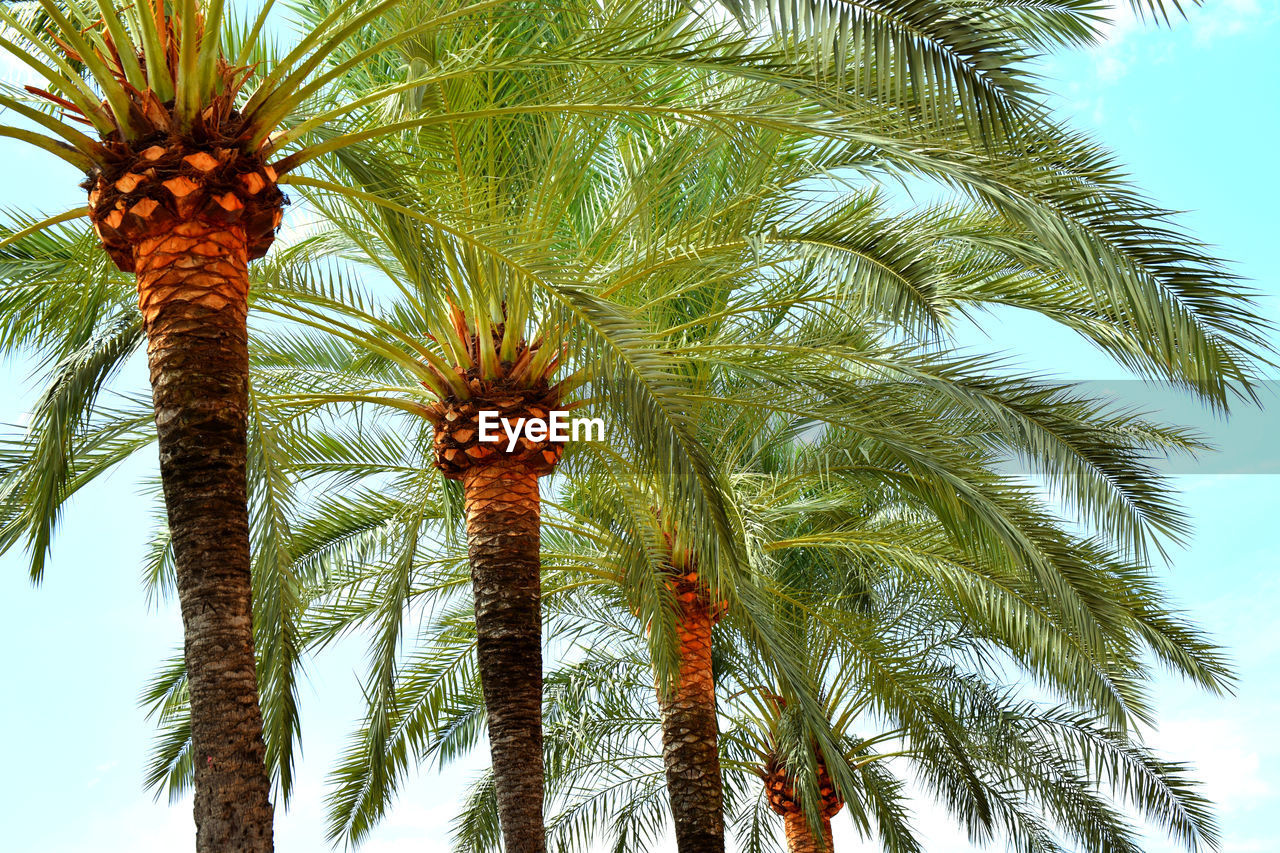 palm tree, tropical climate, tree, plant, growth, low angle view, tree trunk, trunk, date palm tree, sky, beauty in nature, leaf, palm leaf, nature, tropical tree, no people, day, outdoors, tall - high, tranquility, coconut palm tree