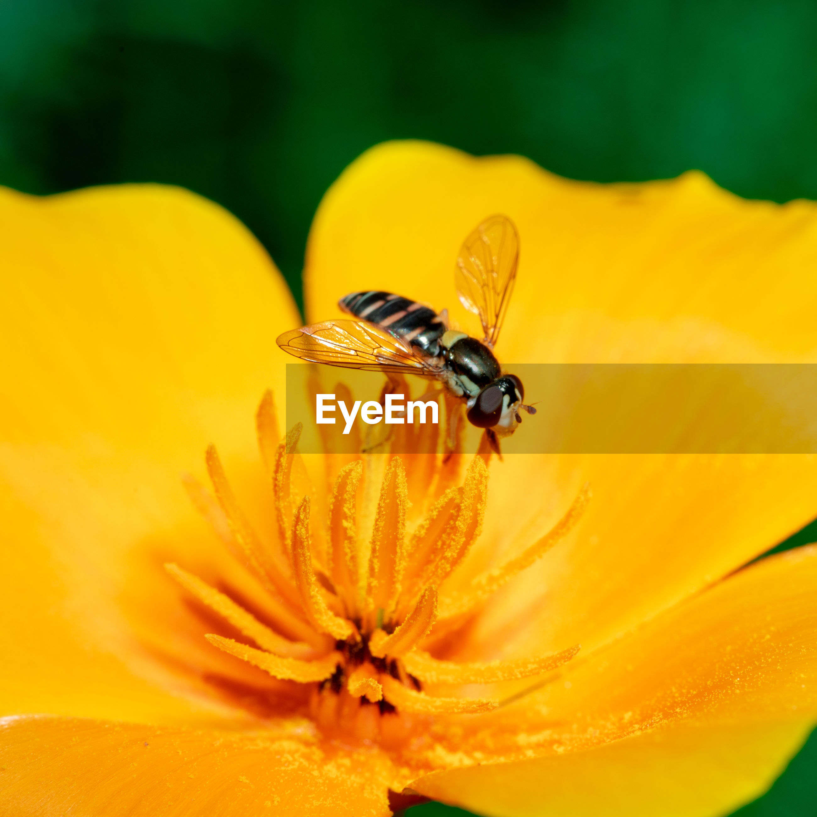 A syrphid fly on california poppy. syrphid flies feed on pollen and nectar.