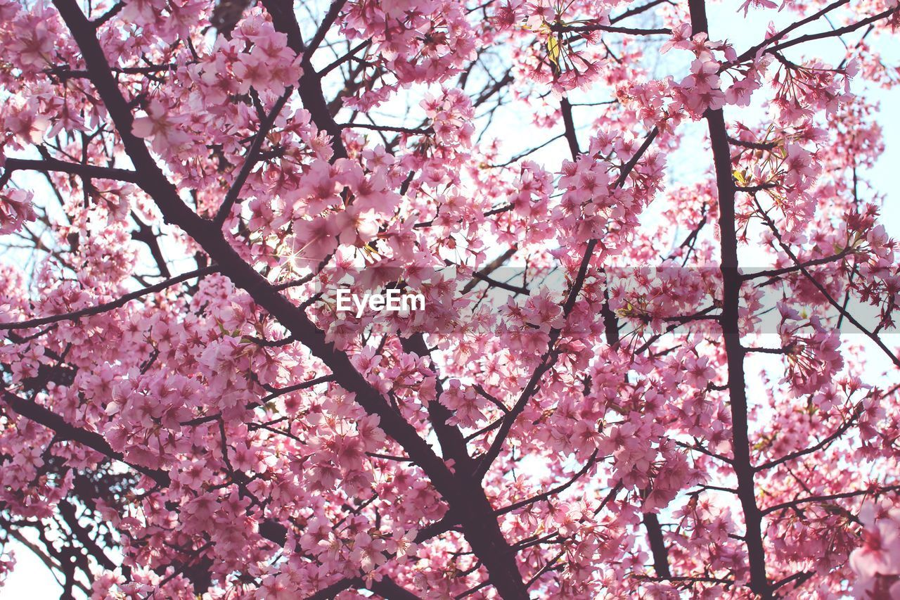Low angle view of pink cherry blossoms growing on tree against sky