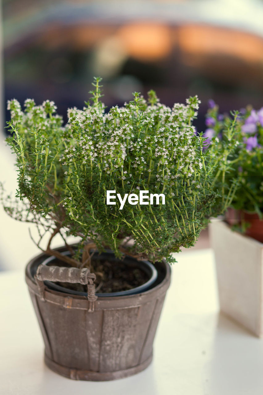 potted plant, growth, plant, green color, focus on foreground, nature, close-up, no people, beauty in nature, flower pot, selective focus, botany, day, outdoors, freshness, container, succulent plant, bonsai tree, leaf, houseplant, herb, gardening