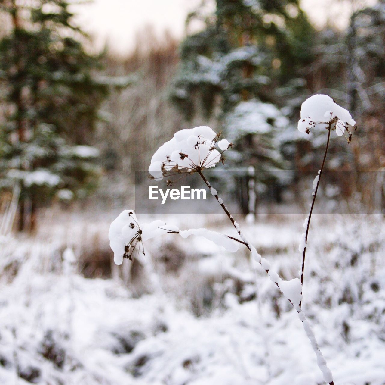 CLOSE-UP OF WHITE FLOWER ON SNOW COVERED TREE