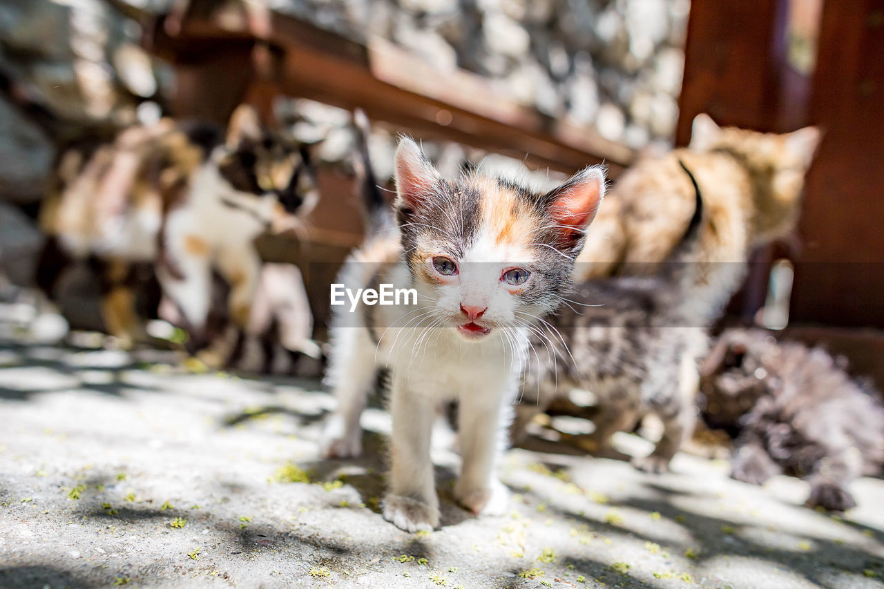 mammal, domestic, animal themes, animal, pets, domestic animals, one animal, cat, domestic cat, vertebrate, feline, kitten, no people, young animal, selective focus, looking at camera, portrait, whisker, day