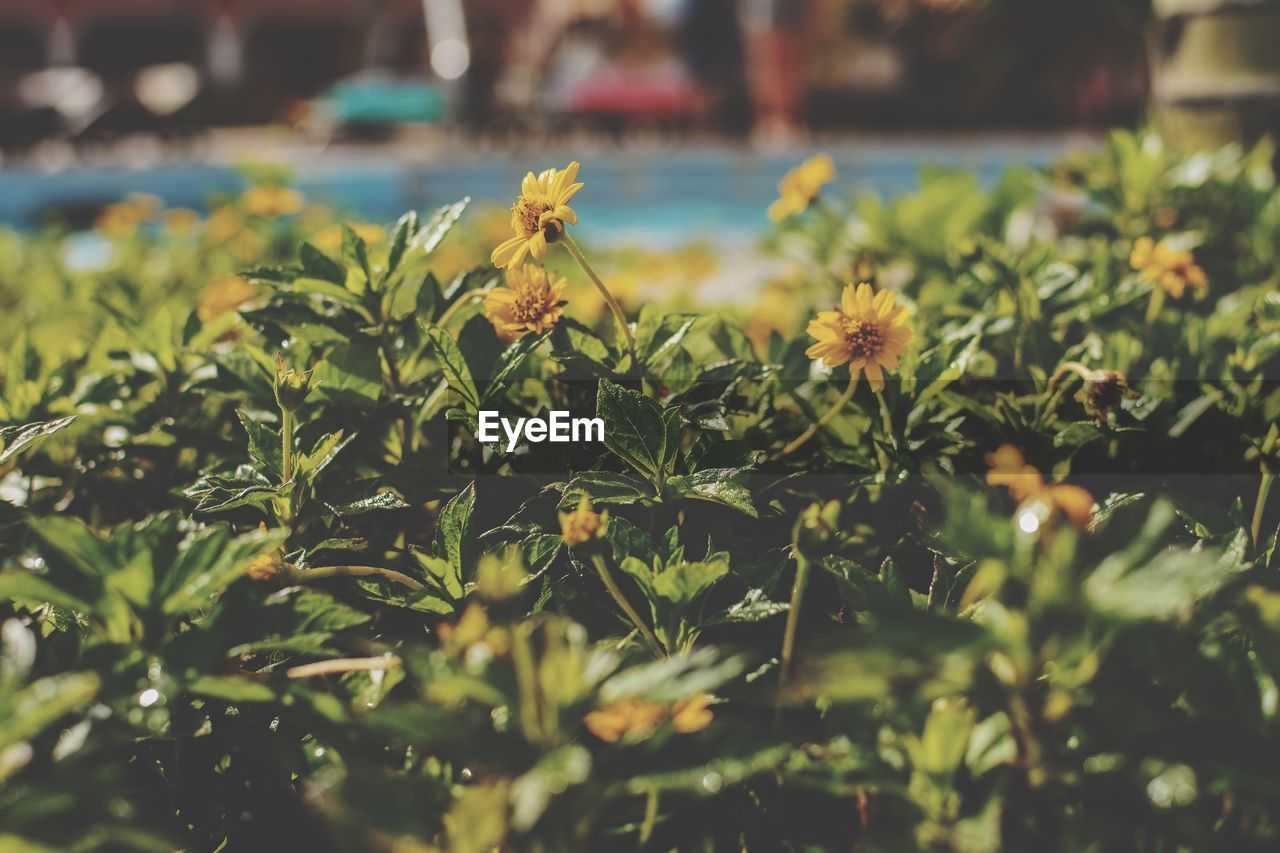 plant, growth, beauty in nature, flowering plant, freshness, flower, selective focus, green color, close-up, nature, no people, day, fragility, focus on foreground, vulnerability, yellow, outdoors, leaf, field, sunlight, flower head