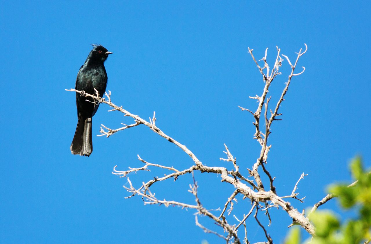 bird, branch, animals in the wild, animal themes, clear sky, perching, low angle view, one animal, tree, blue, nature, animal wildlife, day, outdoors, no people, blackbird, beauty in nature, raven - bird, sky