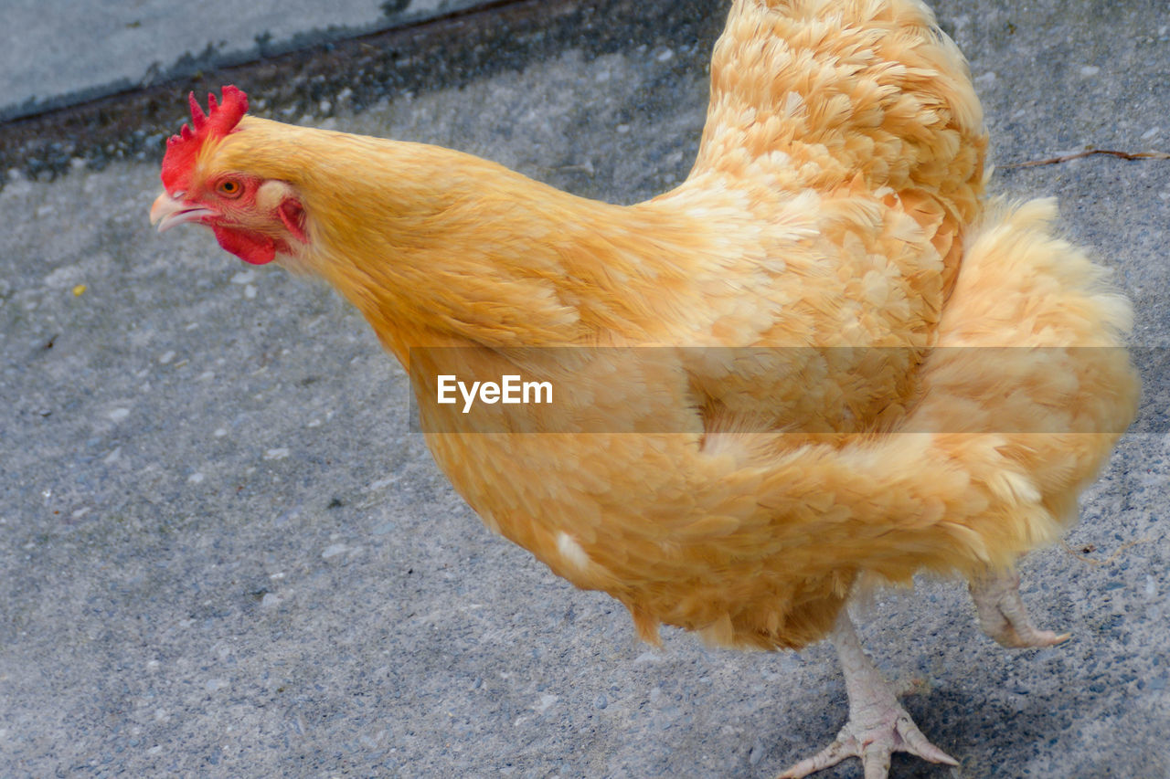 High angle view of hen