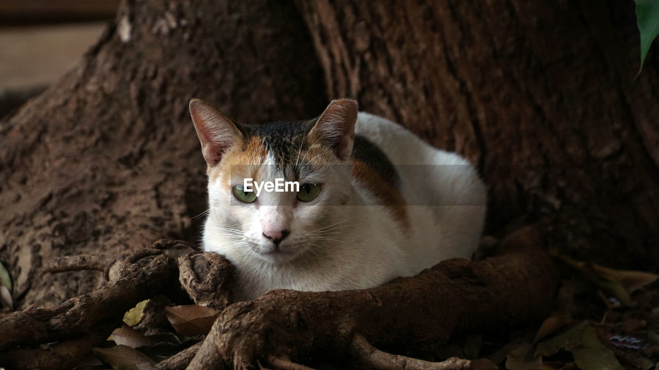animal themes, animal, mammal, one animal, cat, feline, pets, vertebrate, domestic, domestic cat, domestic animals, no people, relaxation, close-up, portrait, tree, looking at camera, nature, day, focus on foreground, whisker, animal head
