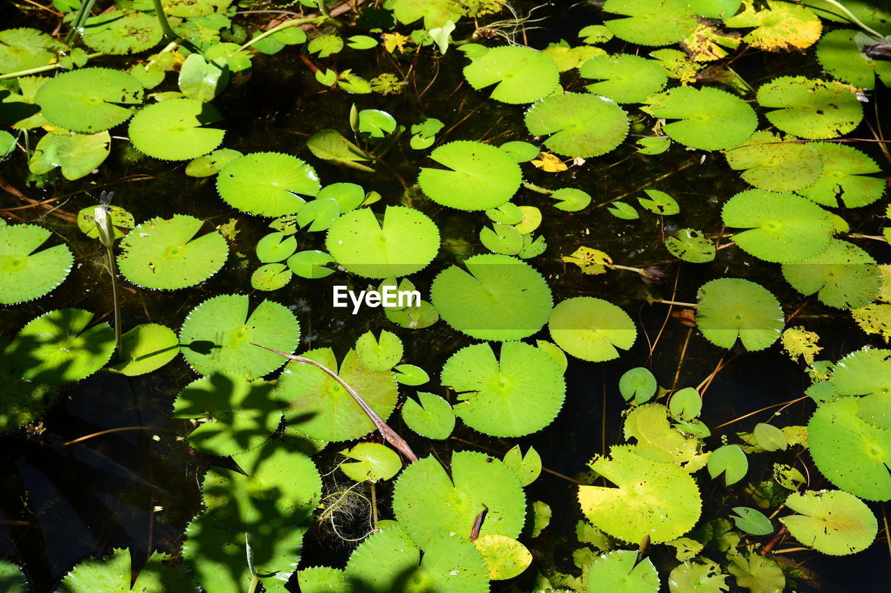 leaf, plant part, growth, plant, green color, beauty in nature, nature, high angle view, water, day, no people, freshness, floating, floating on water, tranquility, outdoors, water lily, lake, close-up, leaves, clover