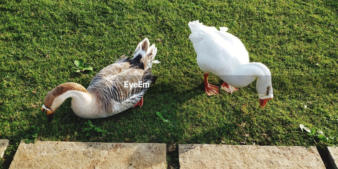 animal themes, animal, group of animals, vertebrate, bird, grass, nature, field, land, plant, animal wildlife, day, green color, animals in the wild, high angle view, no people, white color, young animal, goose, food, outdoors, animal family