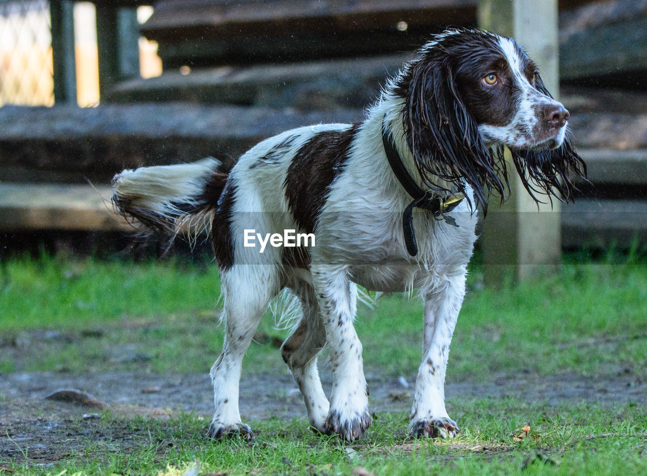 pets, domestic, domestic animals, mammal, one animal, animal themes, animal, canine, dog, field, vertebrate, land, grass, focus on foreground, no people, day, standing, nature, looking, looking away