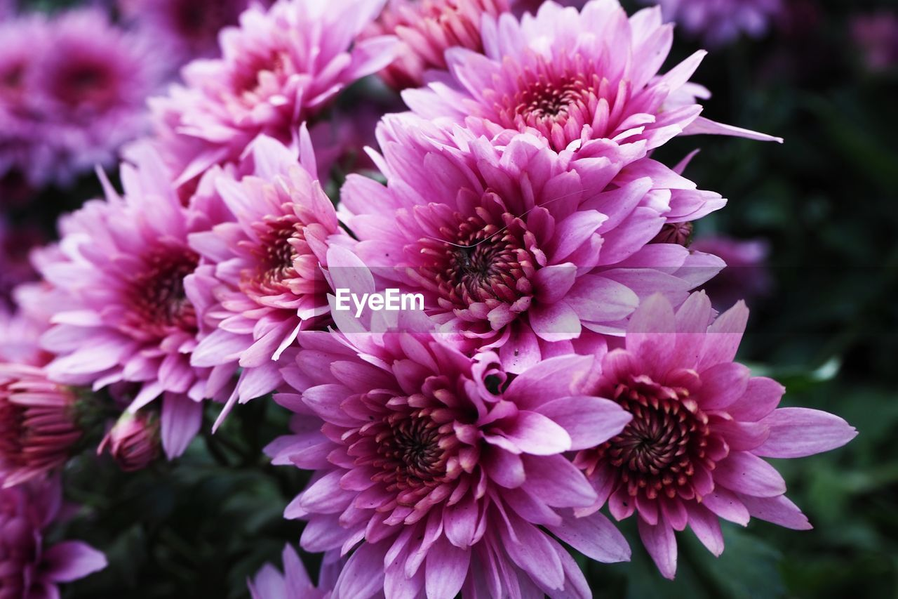 flowering plant, flower, vulnerability, freshness, fragility, plant, petal, beauty in nature, close-up, growth, flower head, inflorescence, pink color, nature, focus on foreground, day, chrysanthemum, no people, outdoors, pollen, purple
