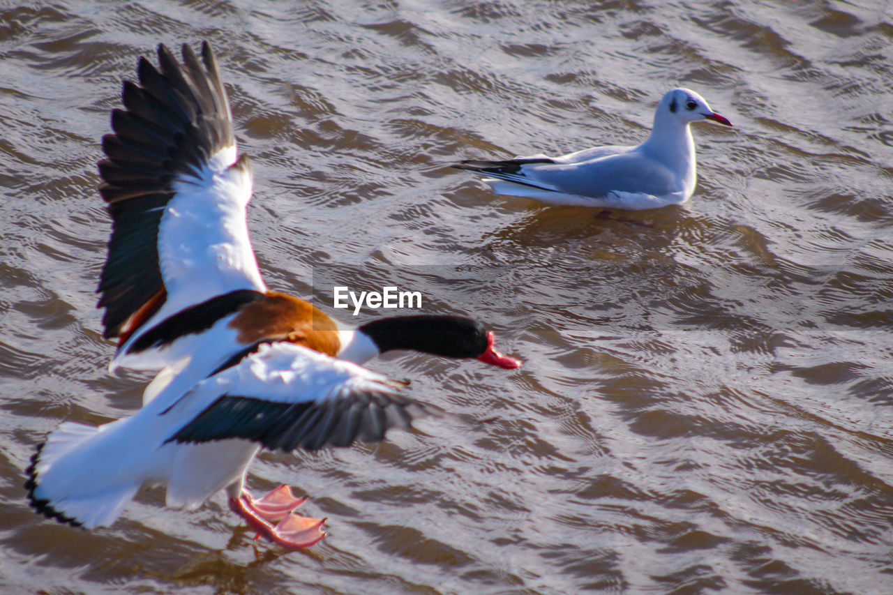 animal themes, bird, animals in the wild, vertebrate, animal, animal wildlife, water, group of animals, no people, waterfront, swimming, lake, two animals, nature, day, spread wings, rippled, flying, seagull, flapping