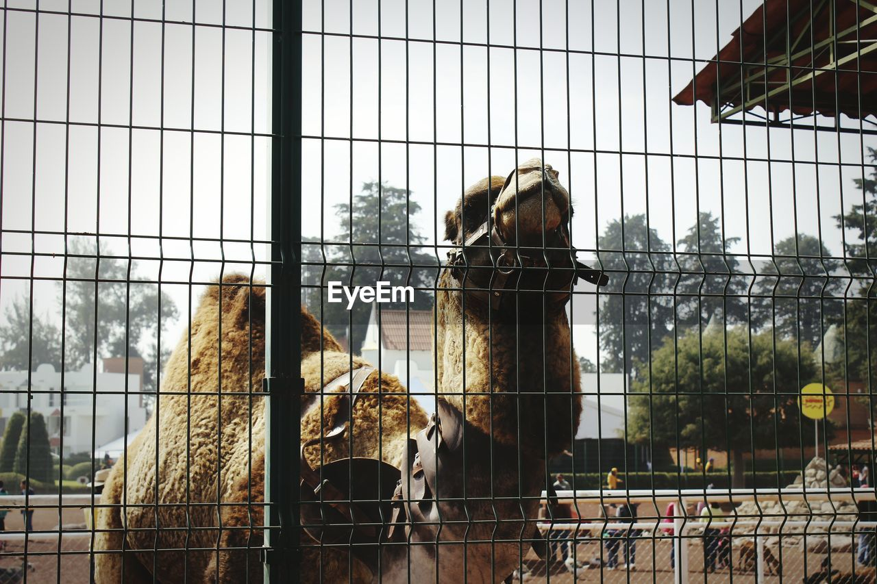 Camel Seen Through Chainlink Fence On Sunny Day Against Sky