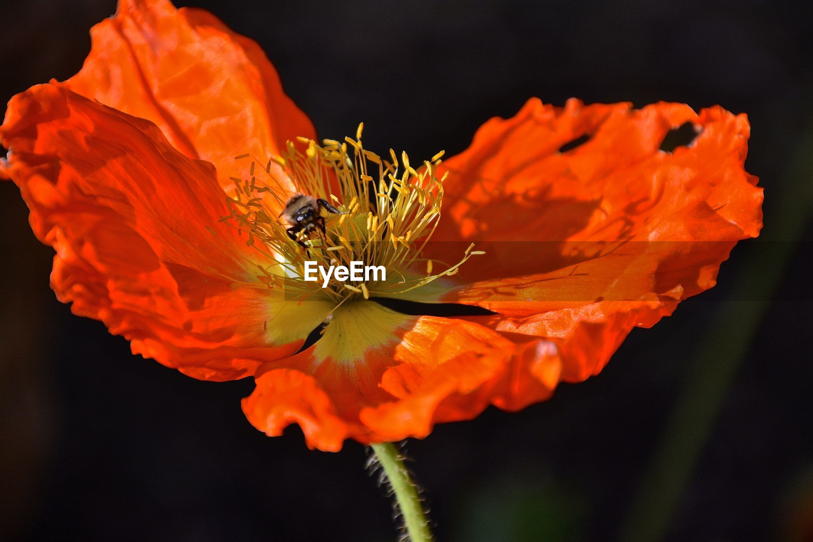 Close-up of poppy flower blooming outdoors