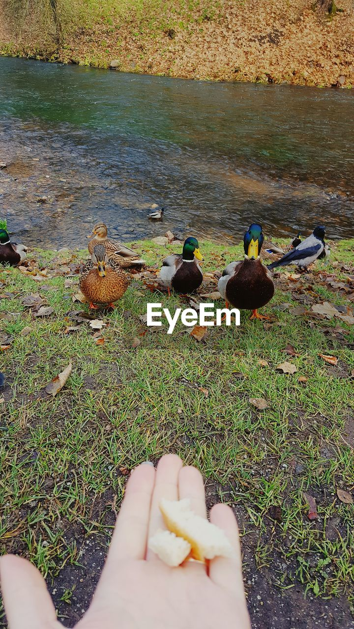 bird, animals in the wild, animal themes, animal wildlife, duck, day, outdoors, water, human body part, grass, nature, real people, human hand