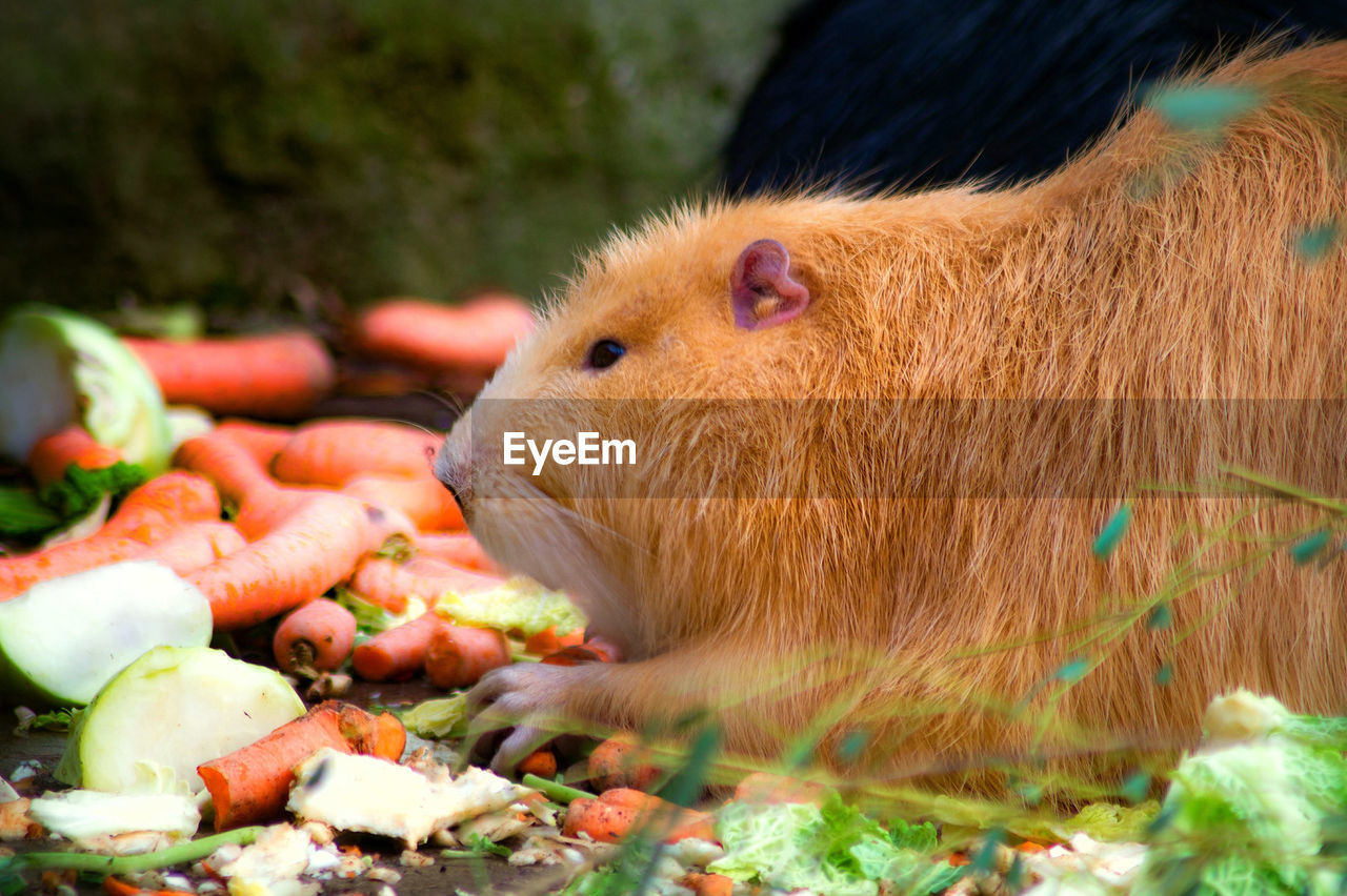 animal themes, animal, mammal, animal wildlife, vertebrate, food, one animal, no people, animals in the wild, food and drink, vegetable, eating, close-up, rodent, selective focus, day, domestic animals, pets, land, domestic, animal head
