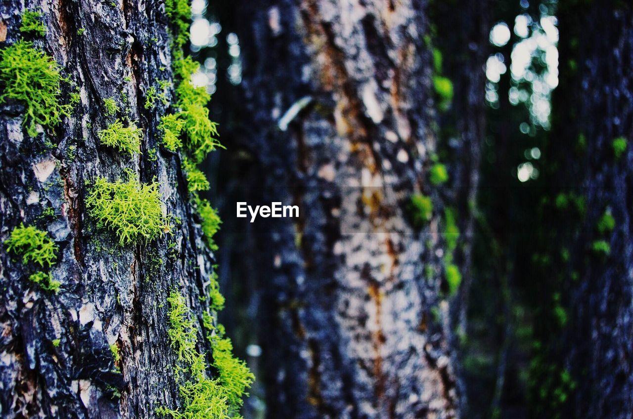 Moss growing on tree trunks