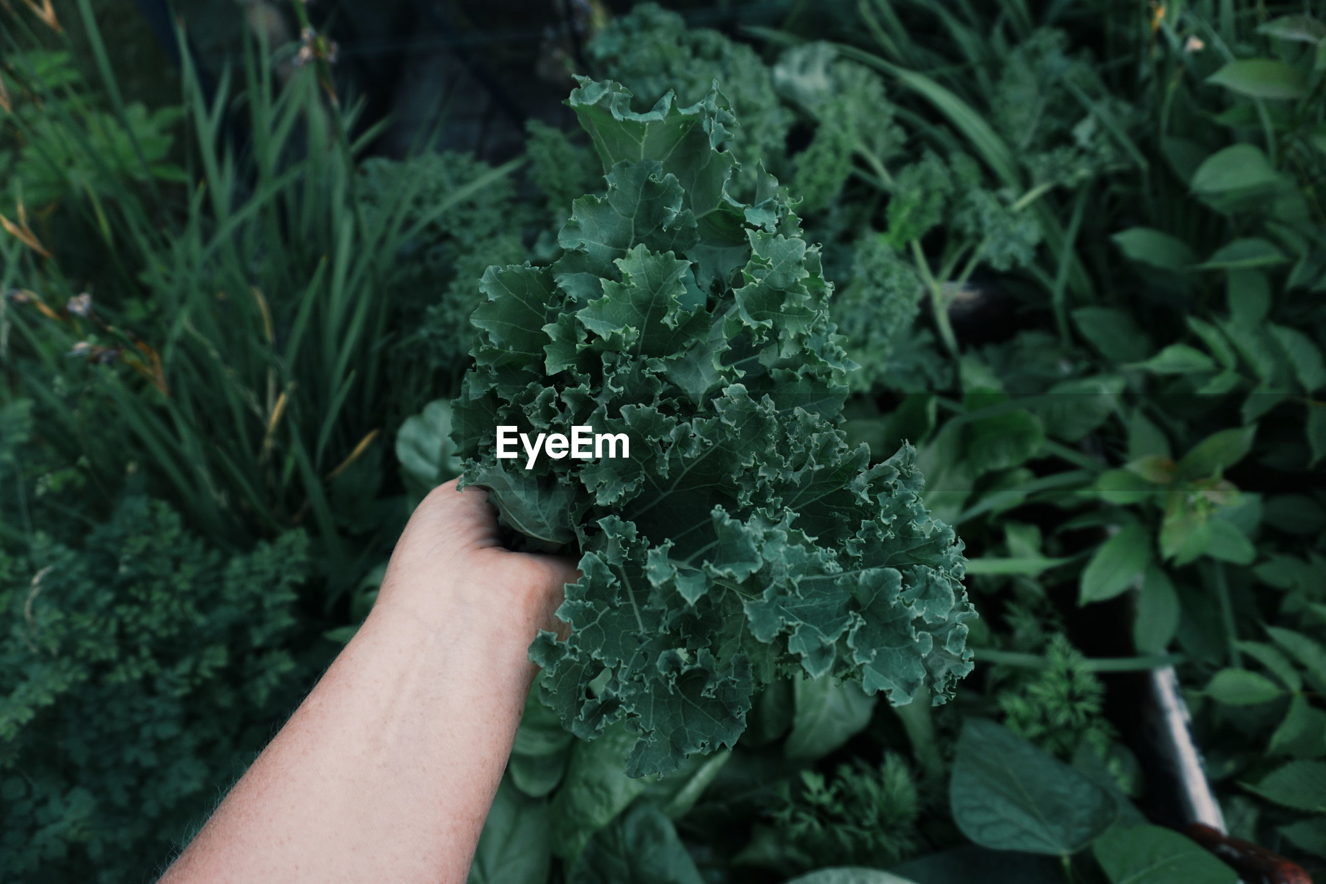 Cropped image of hand holding leaf vegetable by plants