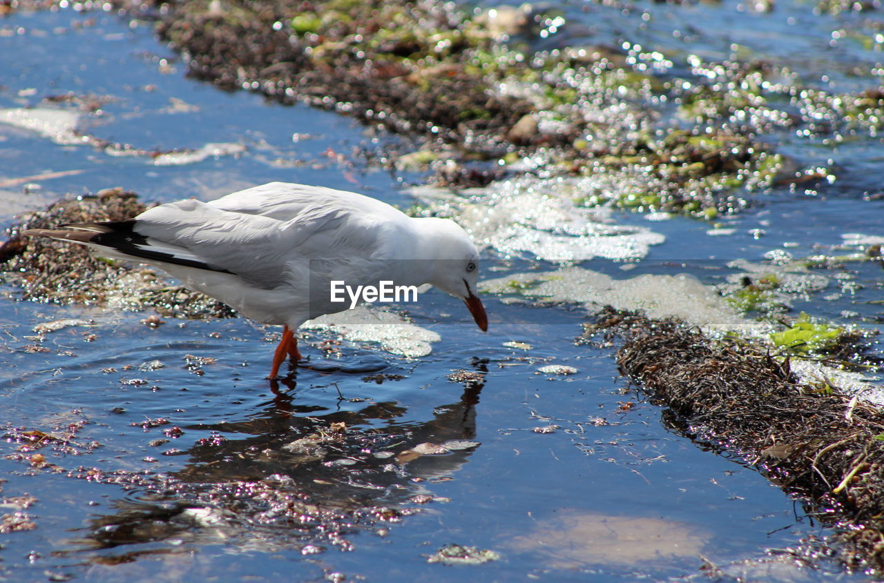 water, animal themes, bird, animal, animals in the wild, animal wildlife, one animal, vertebrate, lake, day, beach, nature, white color, no people, focus on foreground, sunlight, outdoors, land, seagull