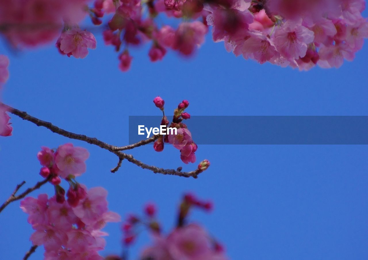 flower, beauty in nature, fragility, nature, growth, tree, springtime, freshness, branch, pink color, twig, low angle view, day, petal, outdoors, blossom, botany, plum blossom, no people, close-up, clear sky, blooming, plant, flower head, sky