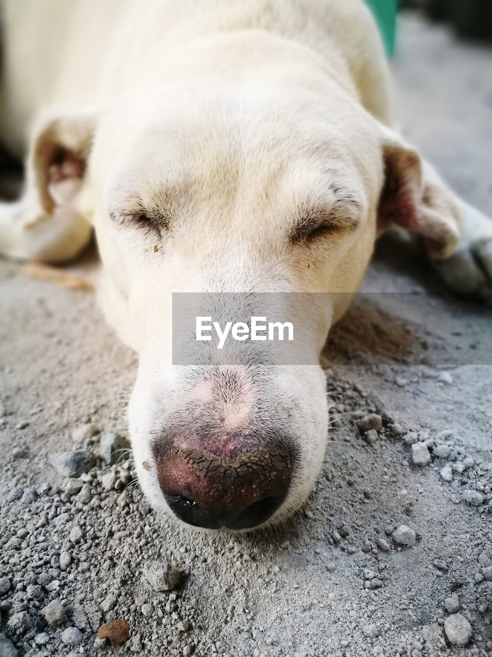 one animal, mammal, domestic, animal themes, animal, pets, domestic animals, dog, canine, vertebrate, close-up, animal body part, relaxation, animal head, lying down, no people, focus on foreground, portrait, day, resting, animal nose, snout, whisker
