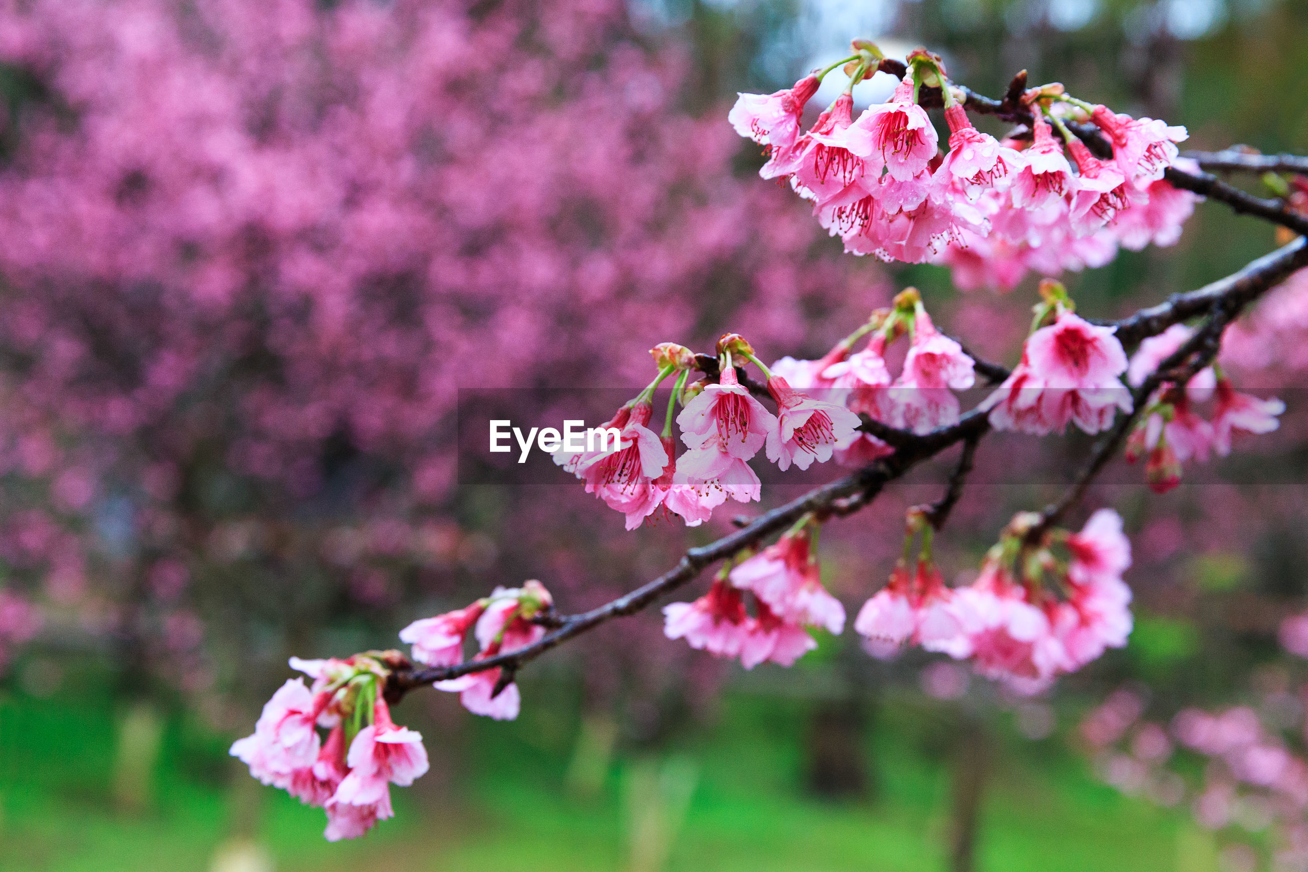 CLOSE-UP OF PINK FLOWERS BLOOMING IN TREE