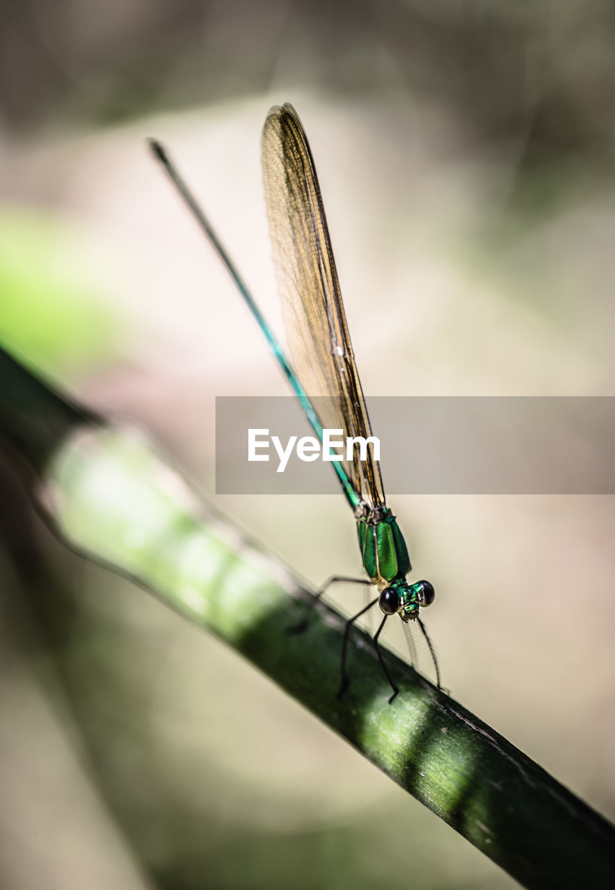 insect, one animal, animal themes, damselfly, animals in the wild, close-up, day, no people, green color, focus on foreground, outdoors, animal wildlife, nature
