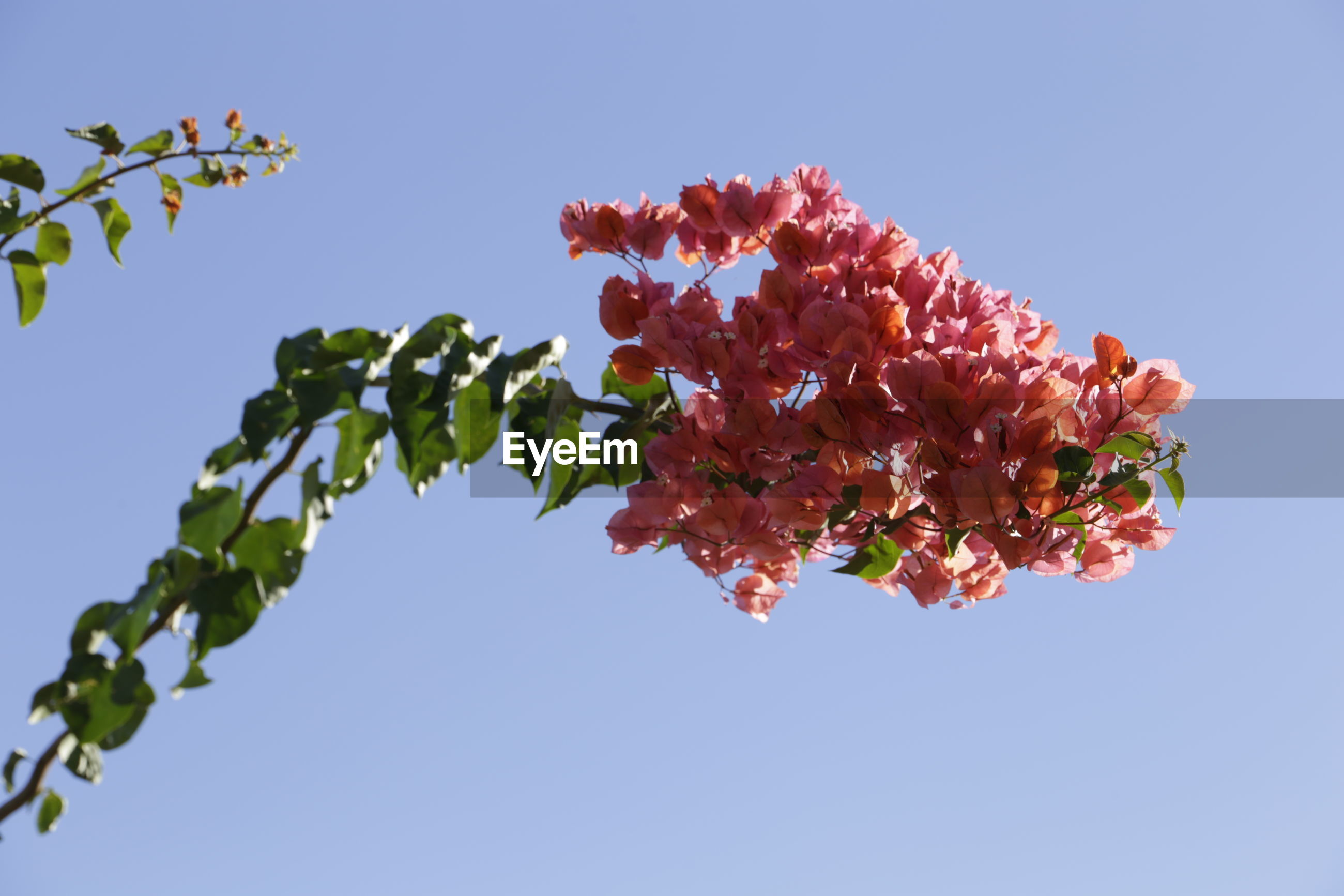 LOW ANGLE VIEW OF FLOWERS ON TREE AGAINST SKY