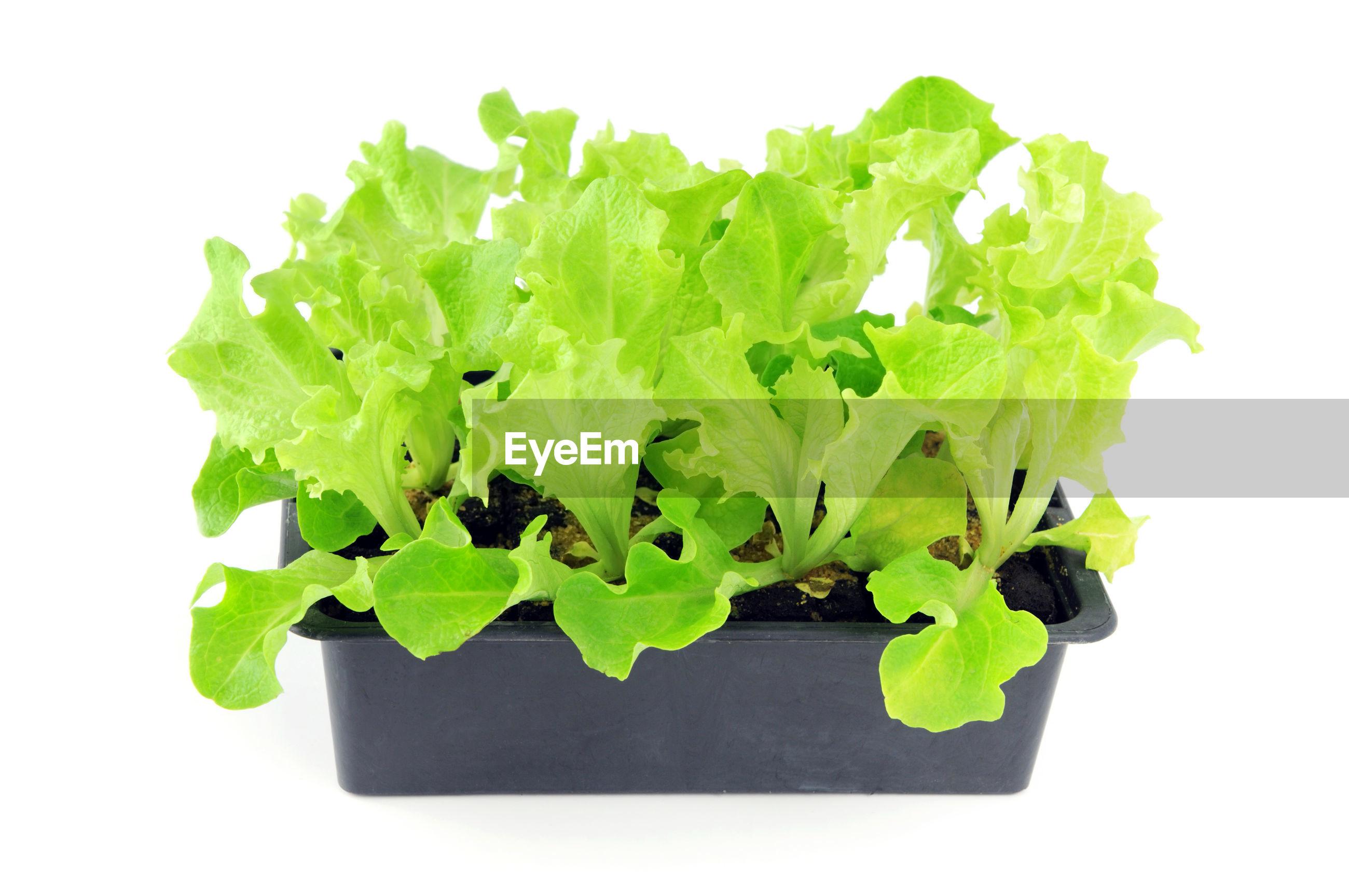 Lettuce seedlings on a tray box against white background