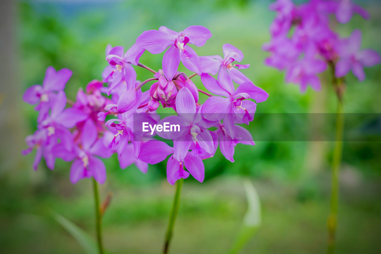 flowering plant, flower, fragility, plant, vulnerability, freshness, beauty in nature, petal, growth, close-up, pink color, inflorescence, focus on foreground, flower head, nature, no people, day, selective focus, botany, purple, lilac