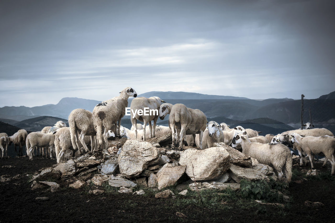 animal themes, animal, mammal, group of animals, pets, domestic, domestic animals, vertebrate, livestock, cloud - sky, sky, large group of animals, no people, nature, landscape, sheep, flock of sheep, mountain, environment, day, herbivorous, herd, animal family