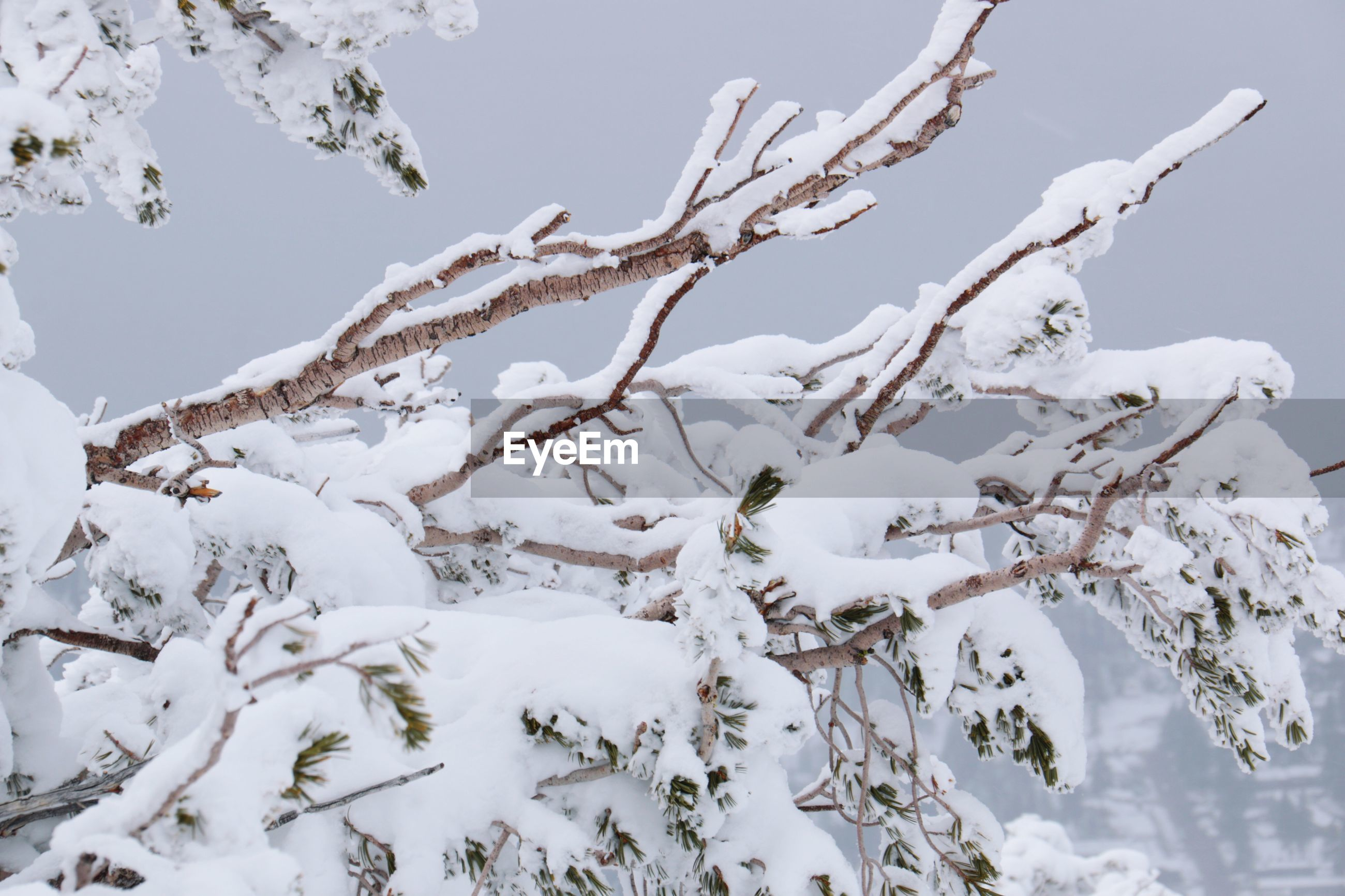 LOW ANGLE VIEW OF SNOW COVERED BRANCHES AGAINST SKY