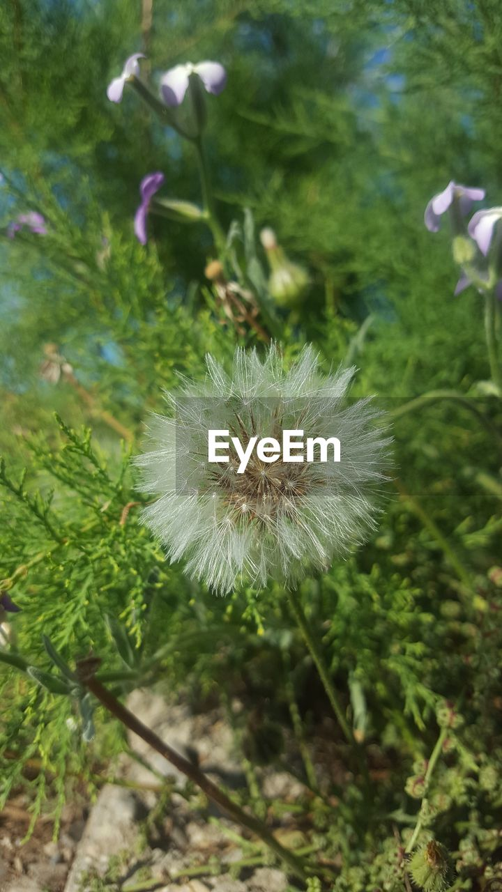 flower, fragility, plant, flowering plant, freshness, growth, vulnerability, close-up, beauty in nature, dandelion, nature, inflorescence, no people, flower head, focus on foreground, day, outdoors, high angle view, green color, land, softness, dandelion seed