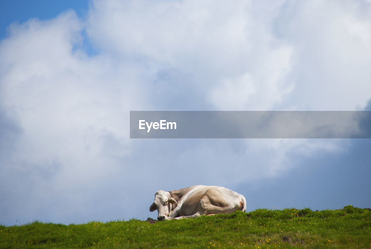 mammal, animal, animal themes, cloud - sky, one animal, sky, nature, animal wildlife, field, day, no people, land, domestic animals, animals in the wild, vertebrate, grass, plant, livestock, beauty in nature, pets, herbivorous