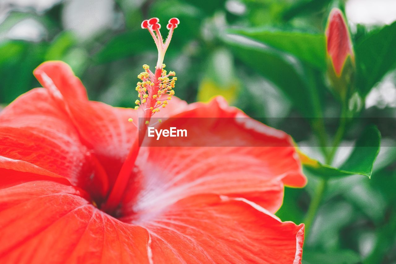 red, petal, freshness, beauty in nature, flower, flowering plant, vulnerability, fragility, close-up, growth, flower head, inflorescence, plant, focus on foreground, day, nature, no people, pollen, botany, outdoors
