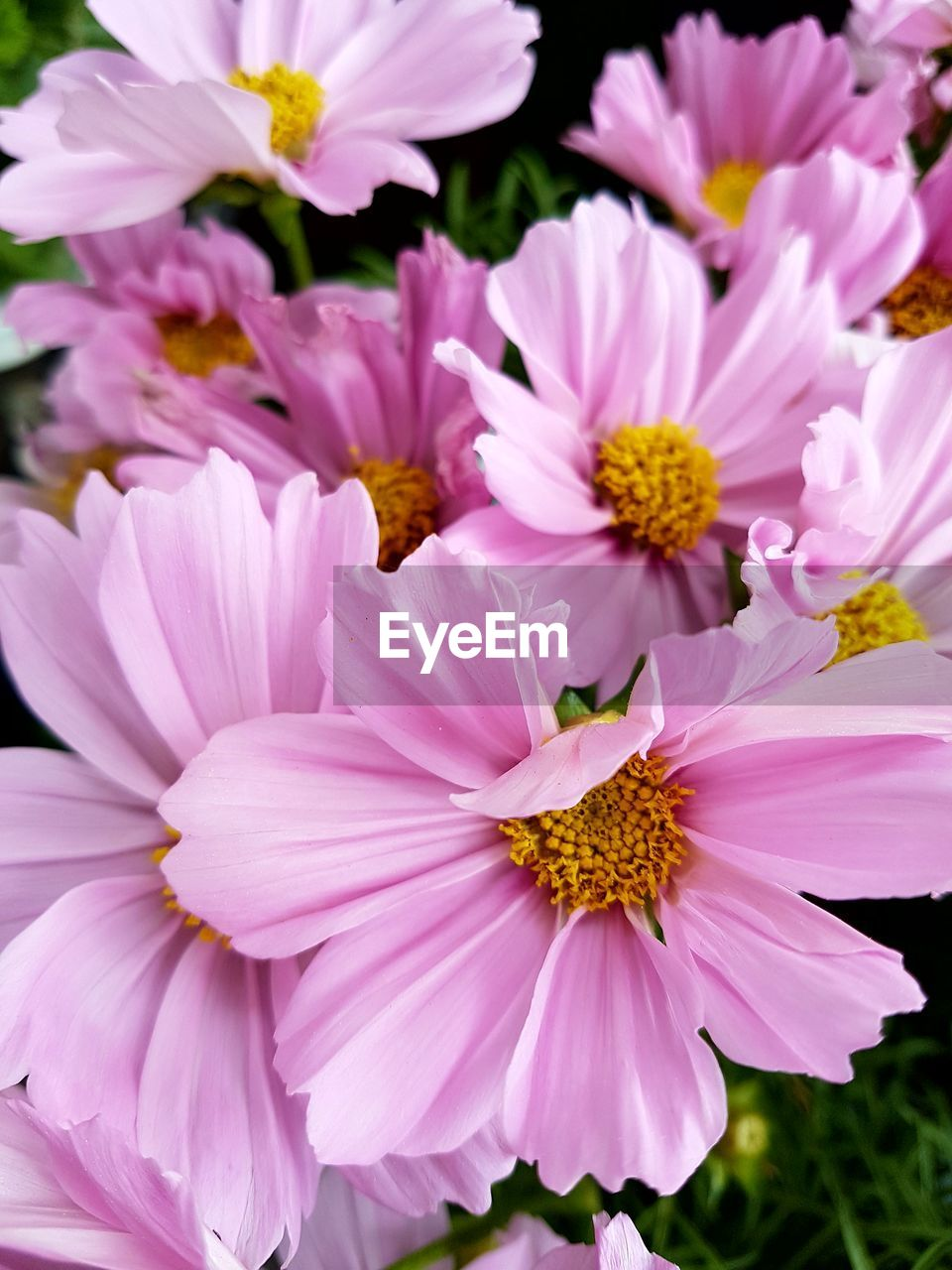 flowering plant, flower, fragility, vulnerability, petal, freshness, plant, beauty in nature, inflorescence, flower head, growth, close-up, pink color, pollen, nature, no people, day, outdoors, focus on foreground, yellow