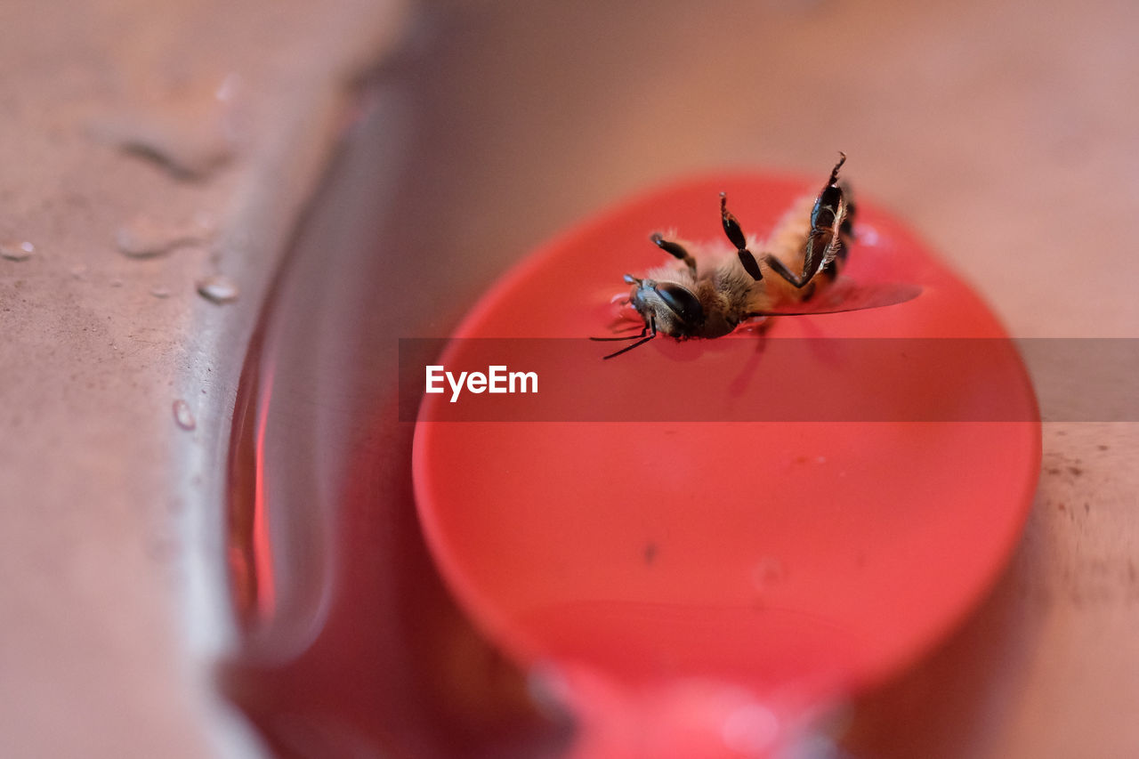 invertebrate, insect, animal, selective focus, animal wildlife, animal themes, red, close-up, one animal, animals in the wild, bee, no people, indoors, day, nature, water, extreme close-up