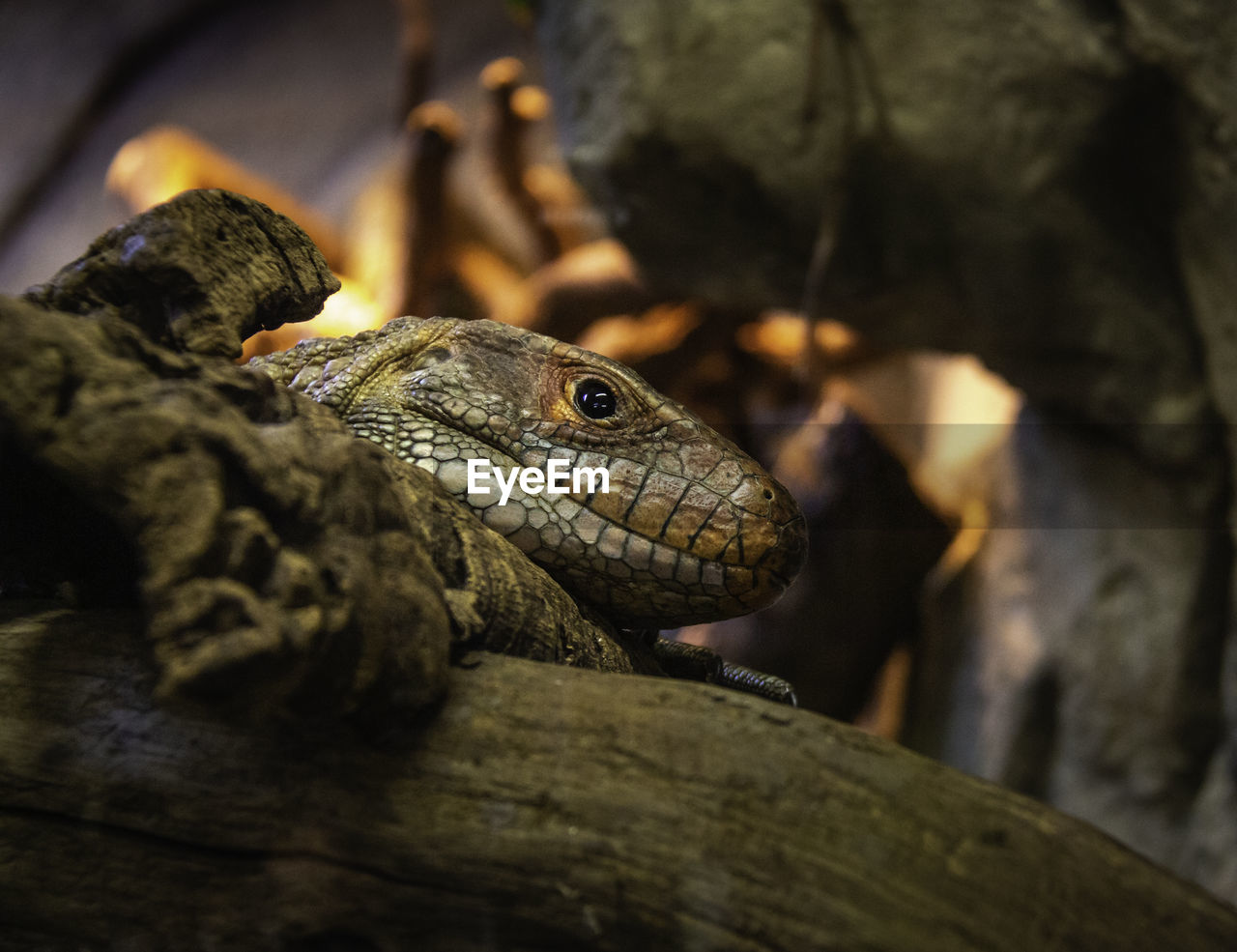 reptile, animal wildlife, vertebrate, animals in the wild, animal, animal themes, one animal, close-up, lizard, no people, nature, focus on foreground, selective focus, day, animal body part, animal head, outdoors, looking, bearded dragon, iguana, animal scale