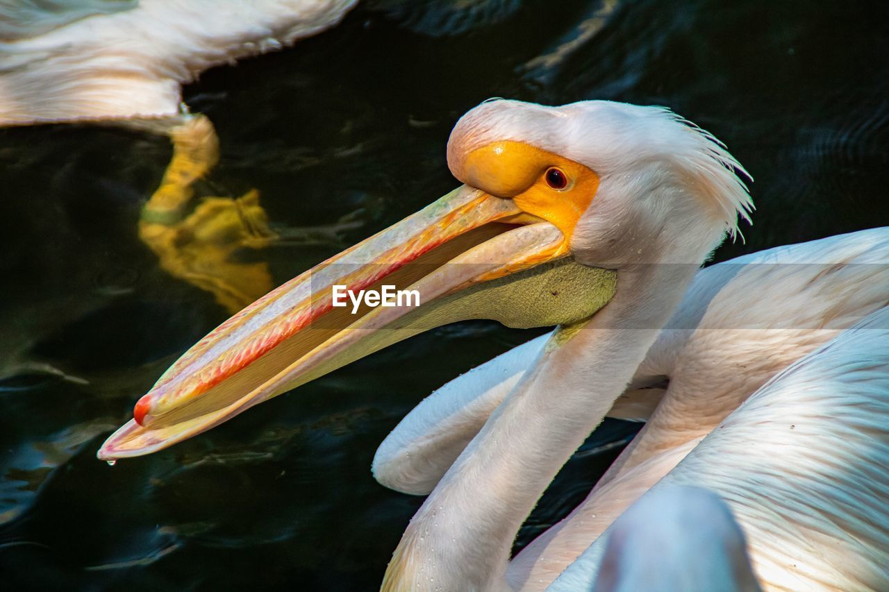 Close-up of pelicans in lake