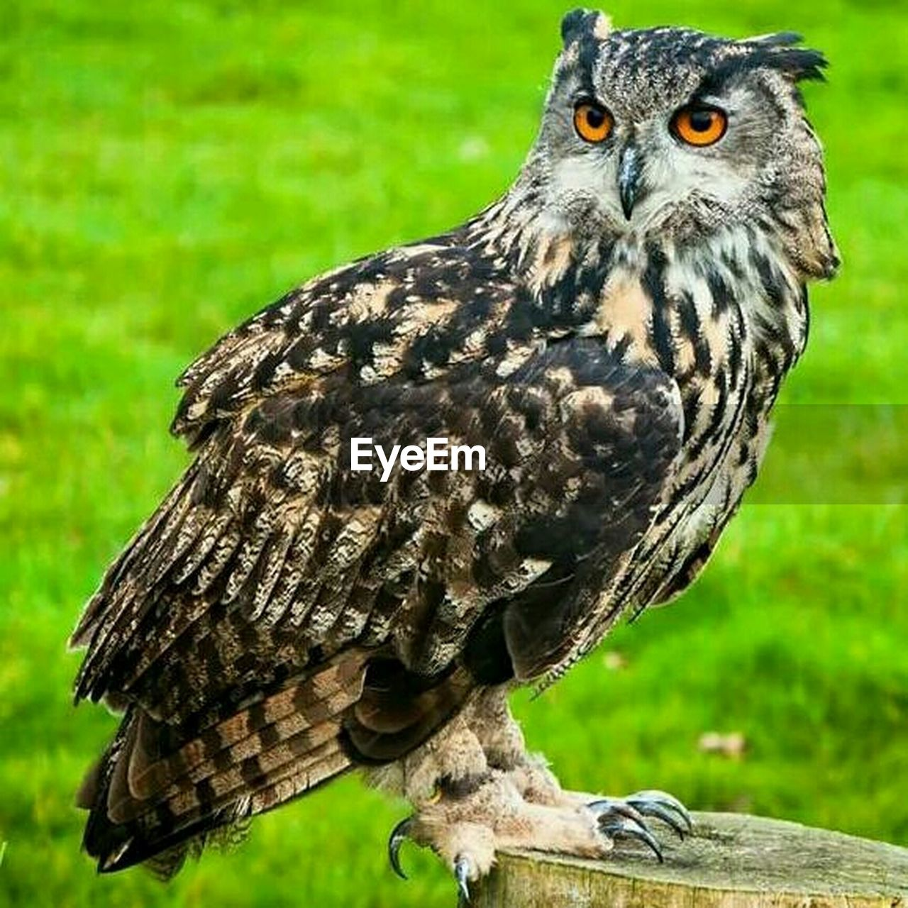 bird, one animal, animal wildlife, animals in the wild, animal themes, bird of prey, focus on foreground, grass, day, outdoors, close-up, nature, perching, owl, beak, looking at camera, no people, portrait