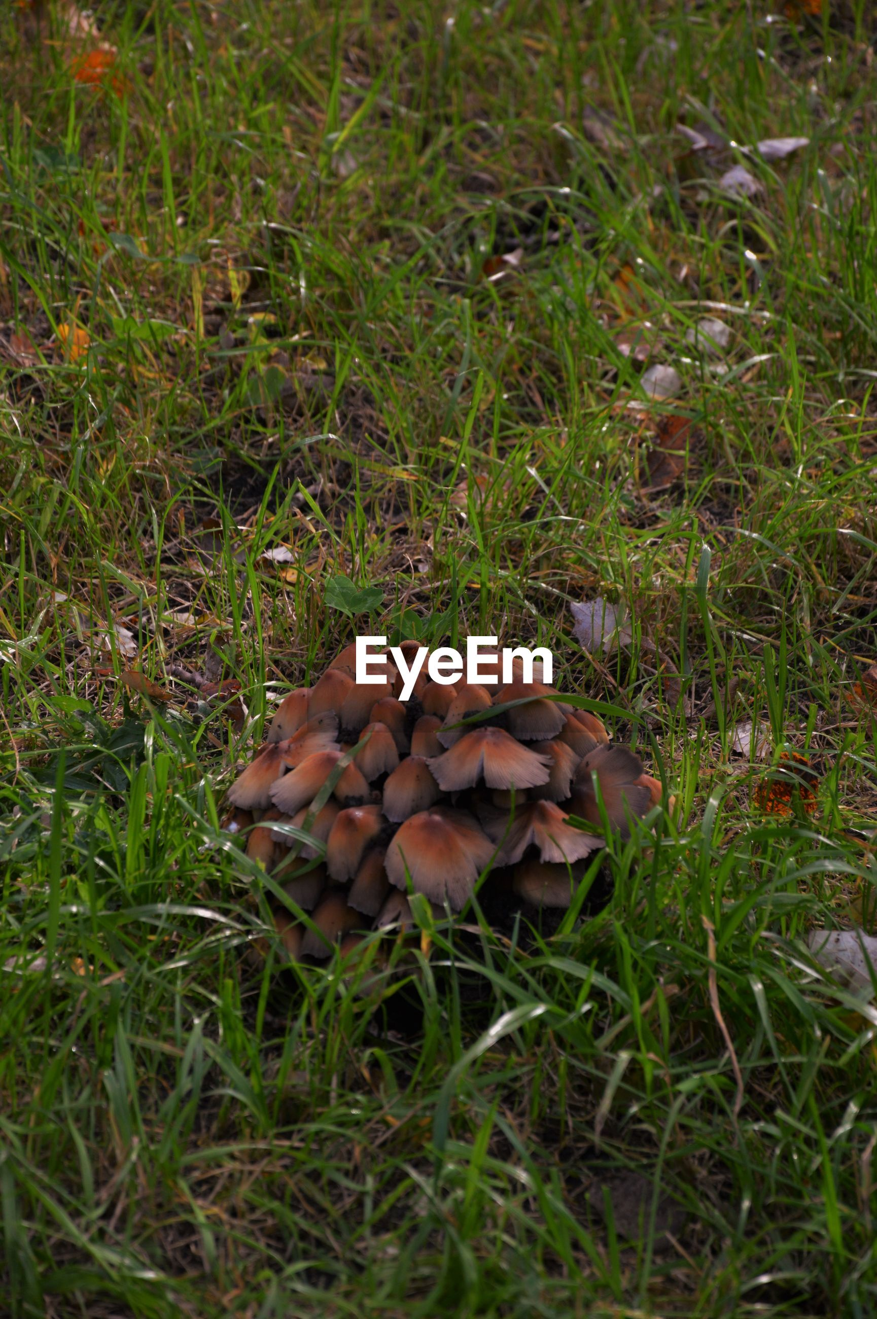mushroom, fungus, growth, toadstool, field, grass, nature, close-up, green color, wilderness, growing, brown, beauty in nature, uncultivated, day, grassy, fragility, freshness, outdoors, focus on foreground, tranquility, no people, non-urban scene, green