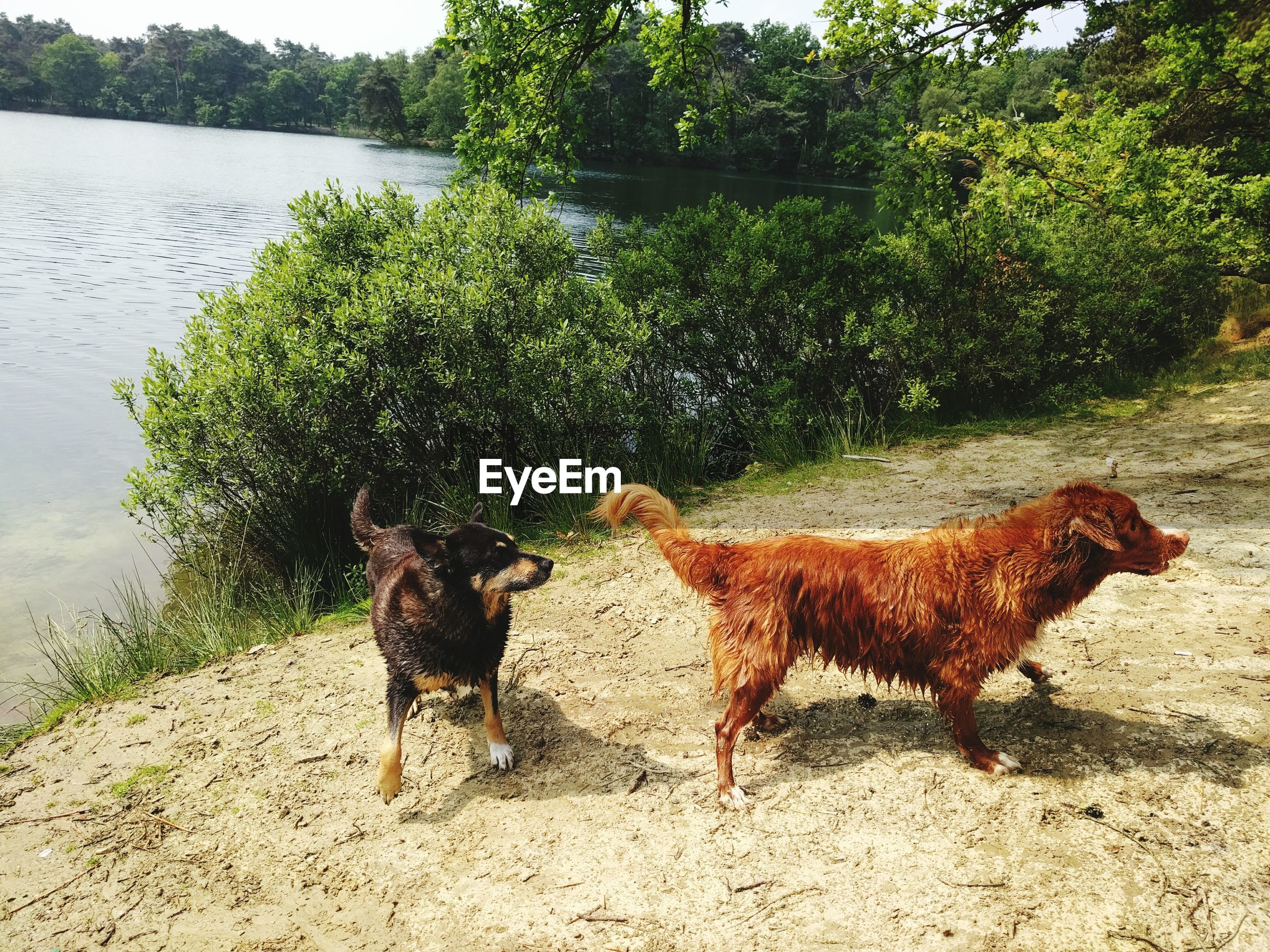 animal themes, mammal, domestic animals, pets, one animal, dog, water, tree, standing, two animals, full length, brown, nature, sunlight, side view, outdoors, day, animal, shadow, lake