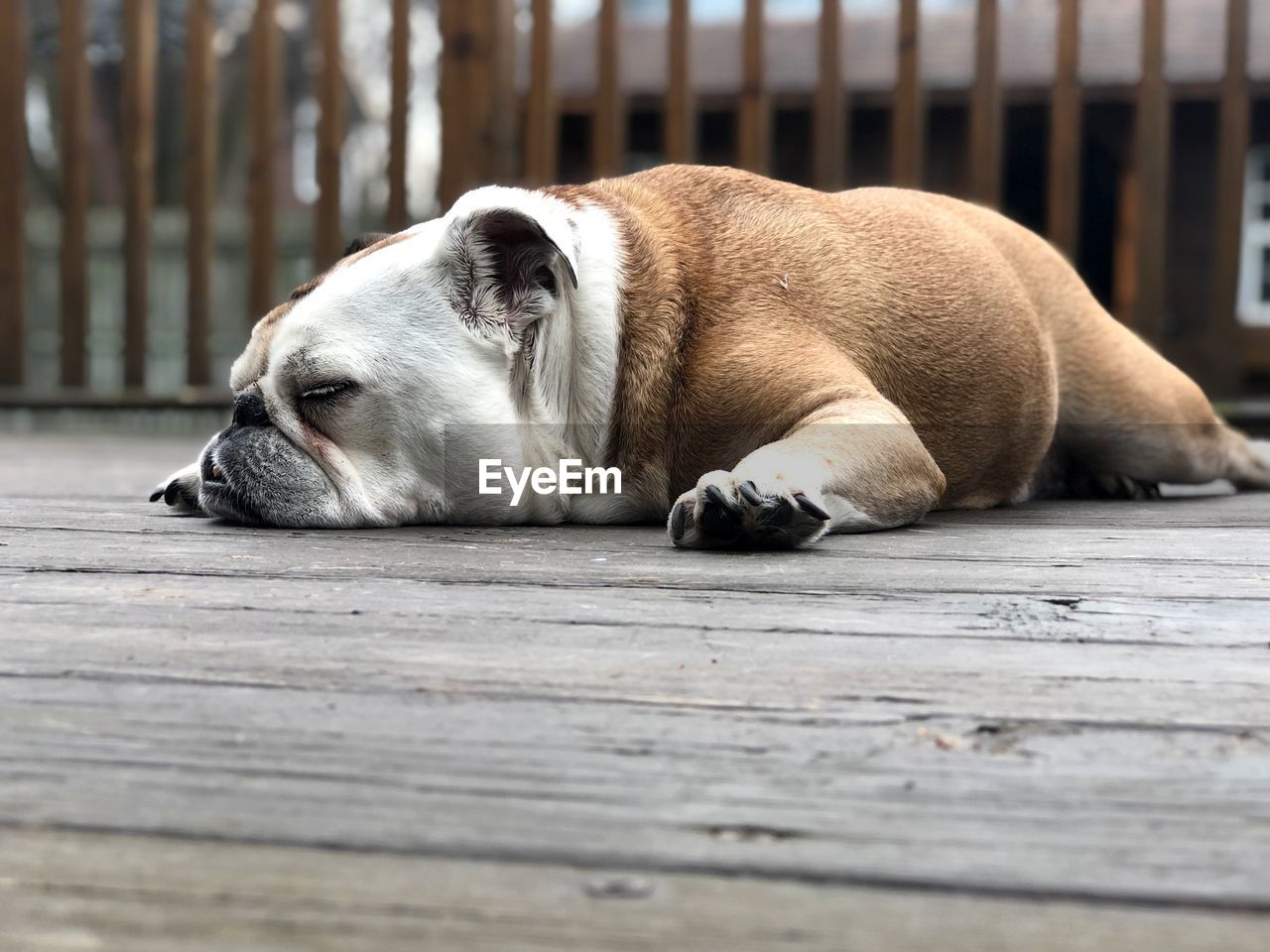 one animal, mammal, animal themes, animal, domestic, pets, domestic animals, relaxation, dog, canine, vertebrate, lying down, wood - material, resting, sleeping, no people, day, flooring, footpath, selective focus, animal head