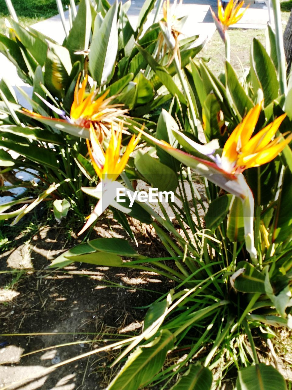 flower, growth, petal, fragility, freshness, nature, beauty in nature, plant, flower head, yellow, leaf, blooming, bird of paradise - plant, day, no people, green color, outdoors, close-up, crocus