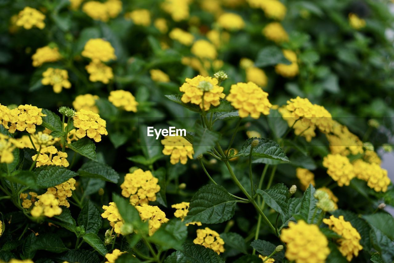 flower, flowering plant, yellow, beauty in nature, plant, growth, freshness, vulnerability, fragility, green color, close-up, day, nature, inflorescence, flower head, selective focus, no people, petal, leaf, field, outdoors